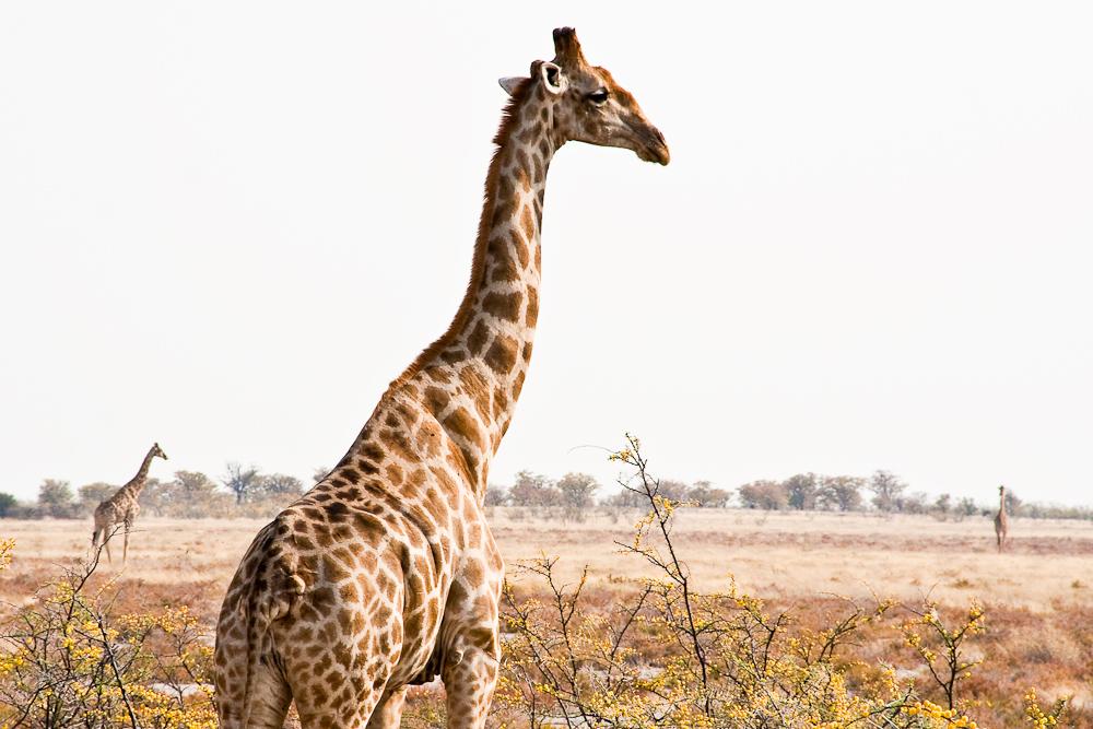 Giraffen @Etosha