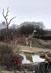 Giraffen Gehege ZOOM Park