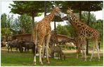 Giraffen, Gnus und Antilope