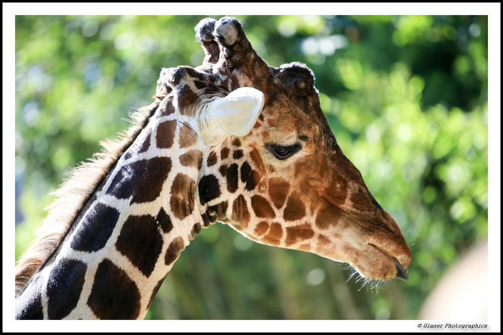 Giraffen Grimassen im Zoo I
