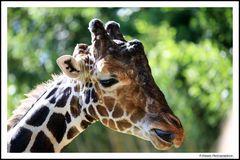 Giraffen Grimassen im Zoo II