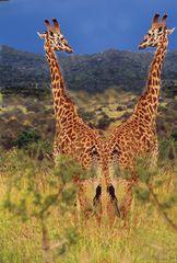 Giraffen II