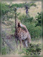 Giraffen im Krügerpark