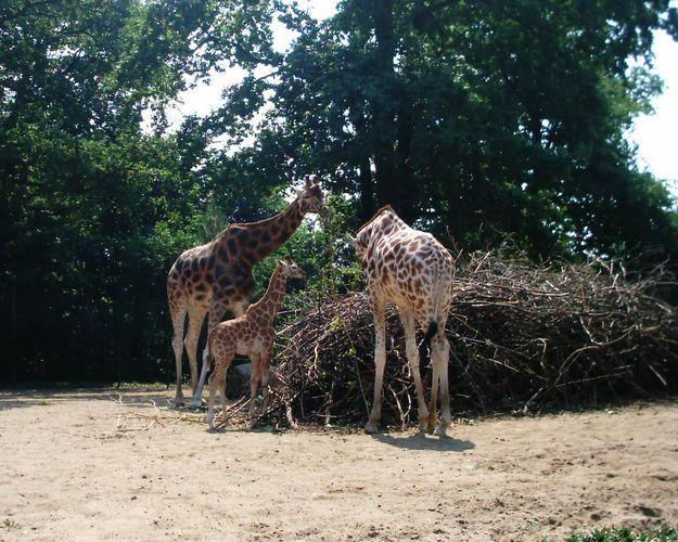 Giraffen im Schweriner Zoo