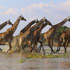 Giraffen im Sprung