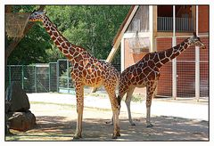 Giraffen im Tiergarten