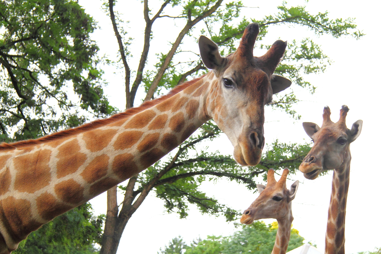 Giraffen im Zoo Dortmund