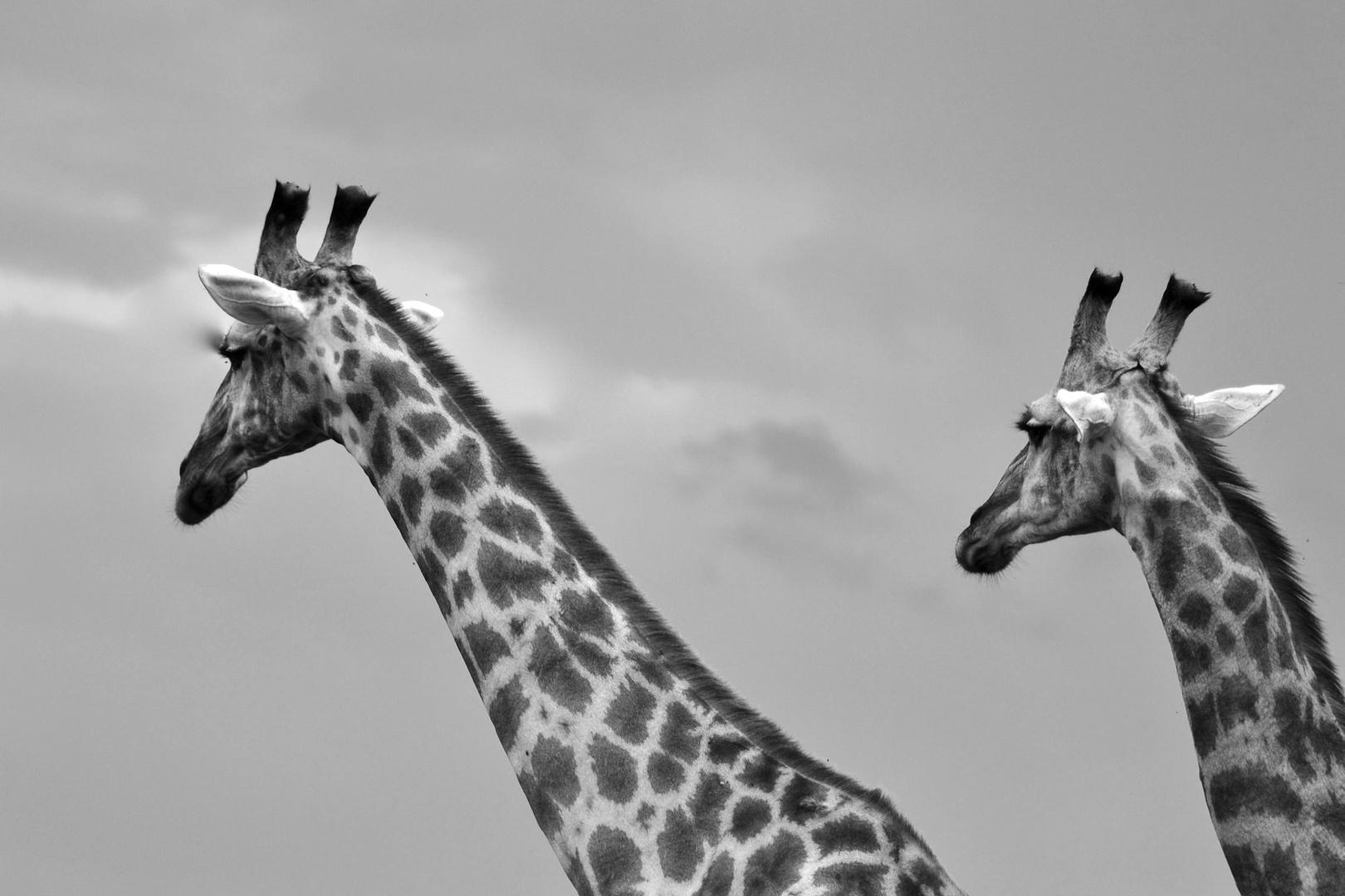 Giraffen in Chobe in Schwarz Weiß