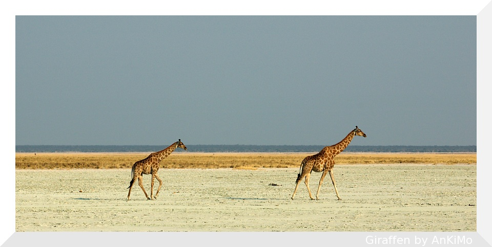 Giraffen in der Etosha Pfanne