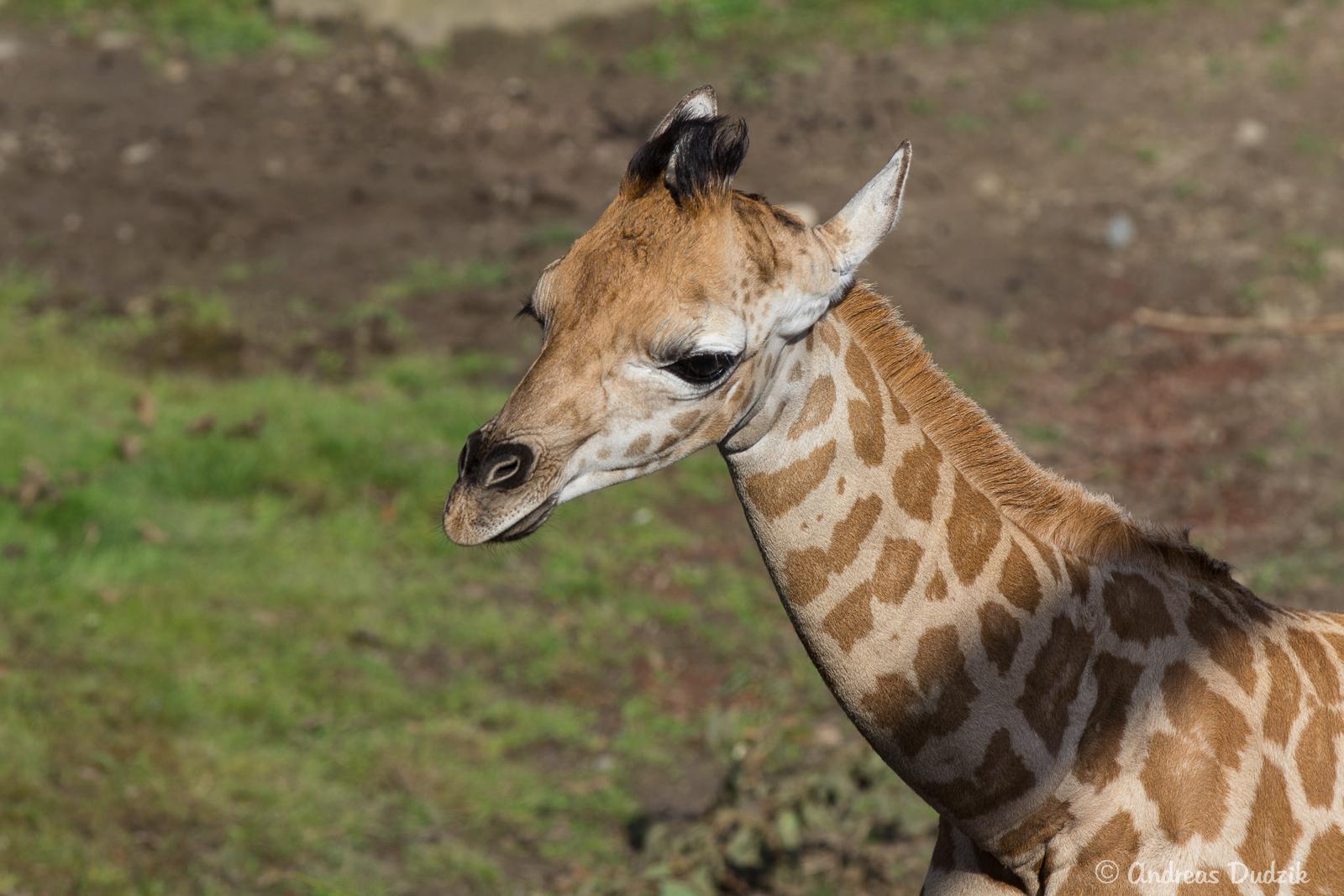 Giraffen-Jungtier