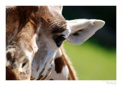 Giraffen-Makro ;-)