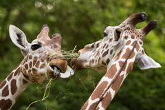 """Giraffen mit """"Gras"""""""