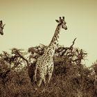 Giraffen No. 6