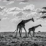 Giraffen No. 7