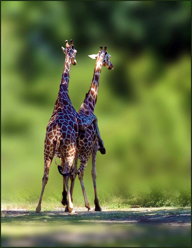 Giraffen Paarung