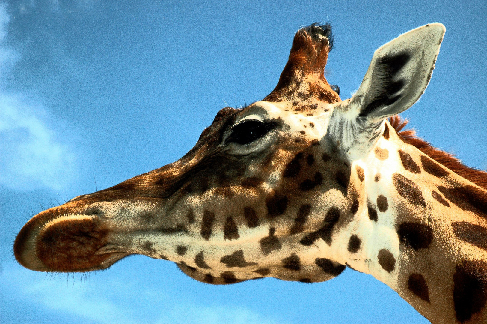 Giraffen Portrait Foto & Bild | tiere, zoo, wildpark & falknerei ...