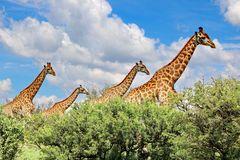 Giraffen Wanderung IMG_1455