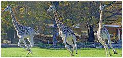 Giraffen-Wettrennen