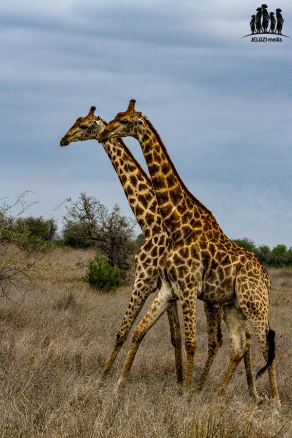 Giraffendoppel Krüger Nationalpark