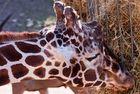Giraffenfutter