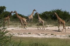 Giraffengaloppa
