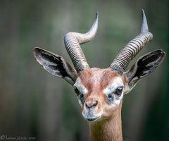 Giraffengazelle#3