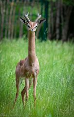 Giraffengazelle#4