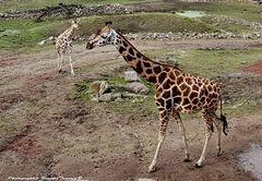 Giraffengehege