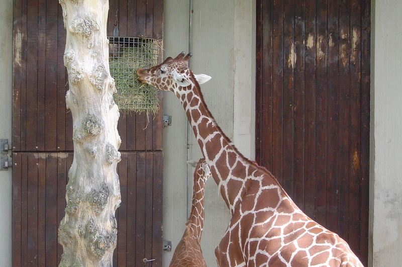 Giraffenmama + Kind