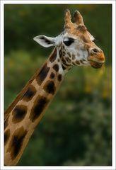 Giraffenportrait