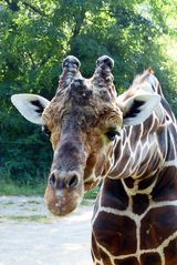 Giraffenportrait - Zoo Duisburg