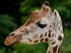 Giraffenprofil
