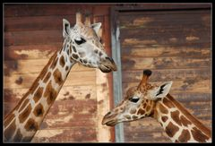 Giraffenunterhaltung
