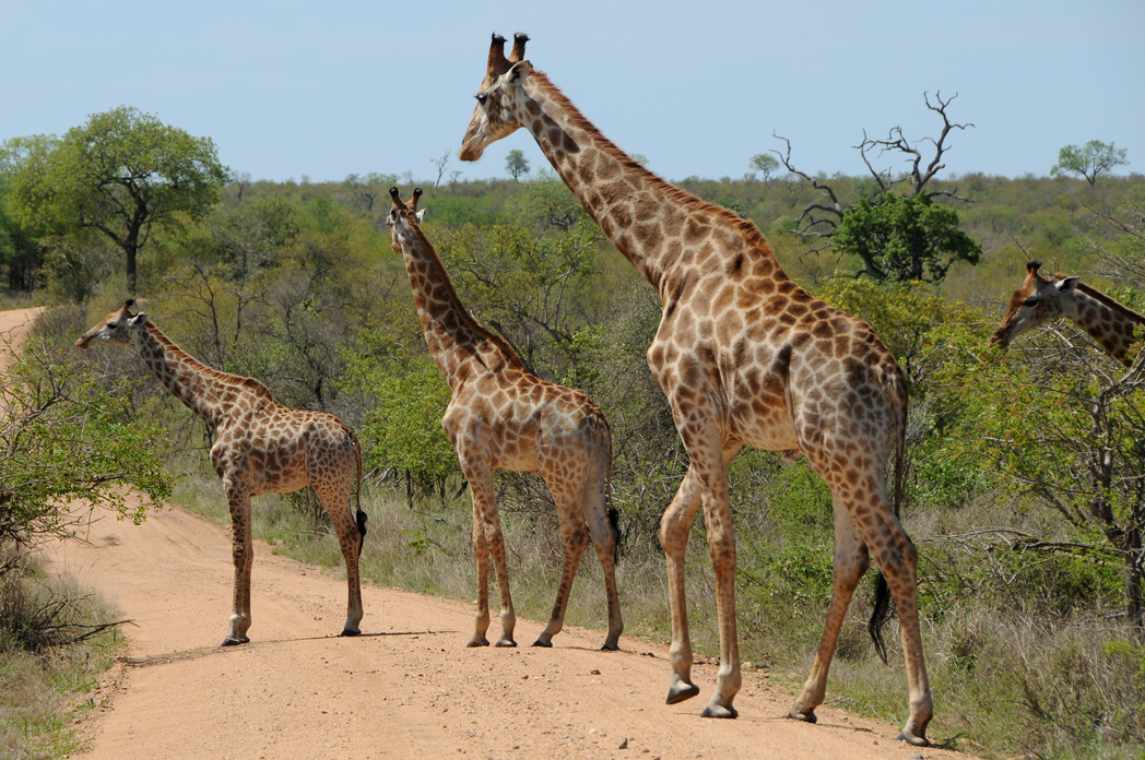 Giraffenwalk