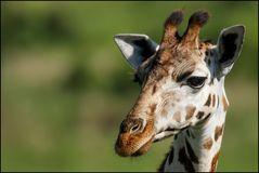Giraffeporträt