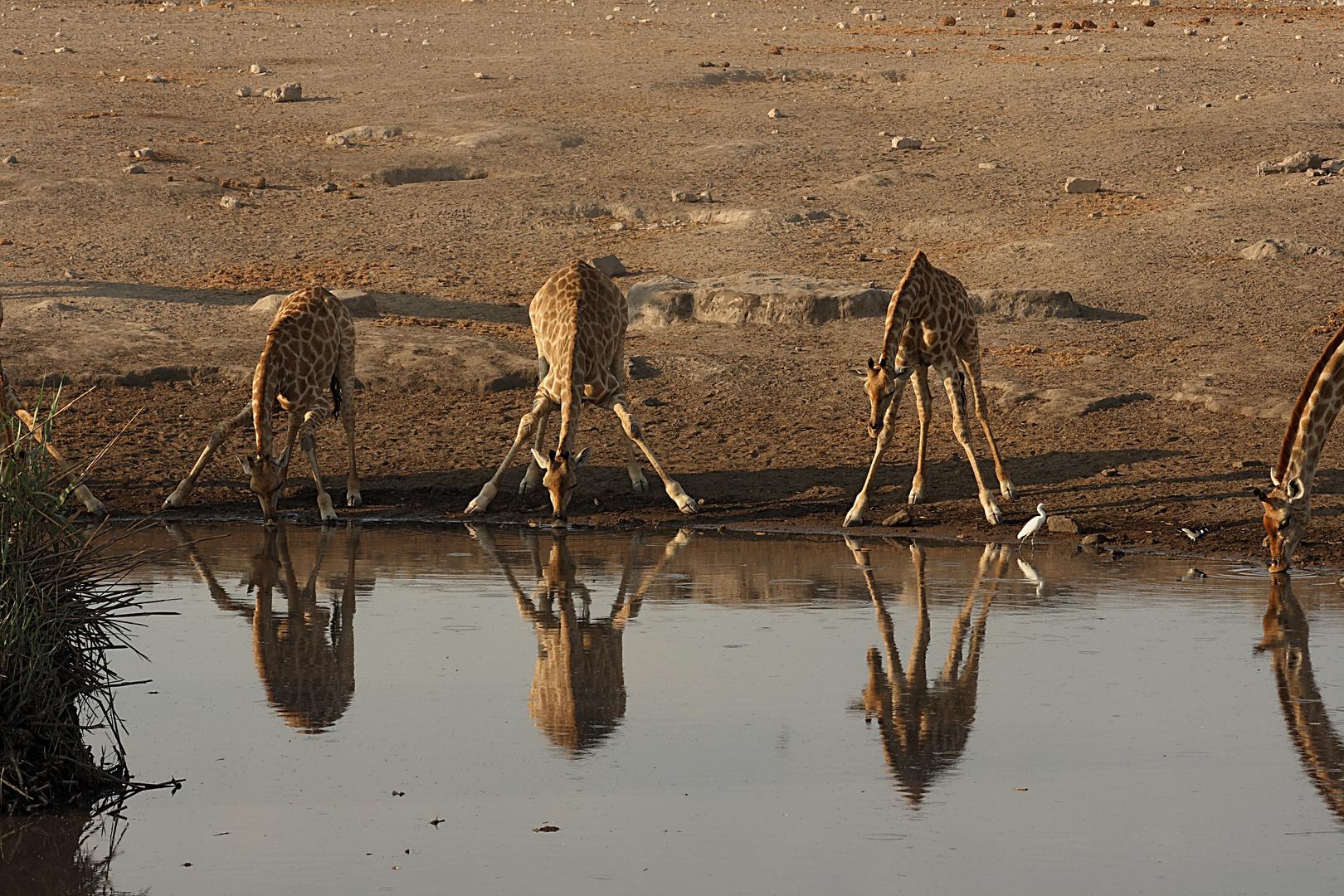 giraffes at the bar