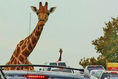 Giraffes in the City