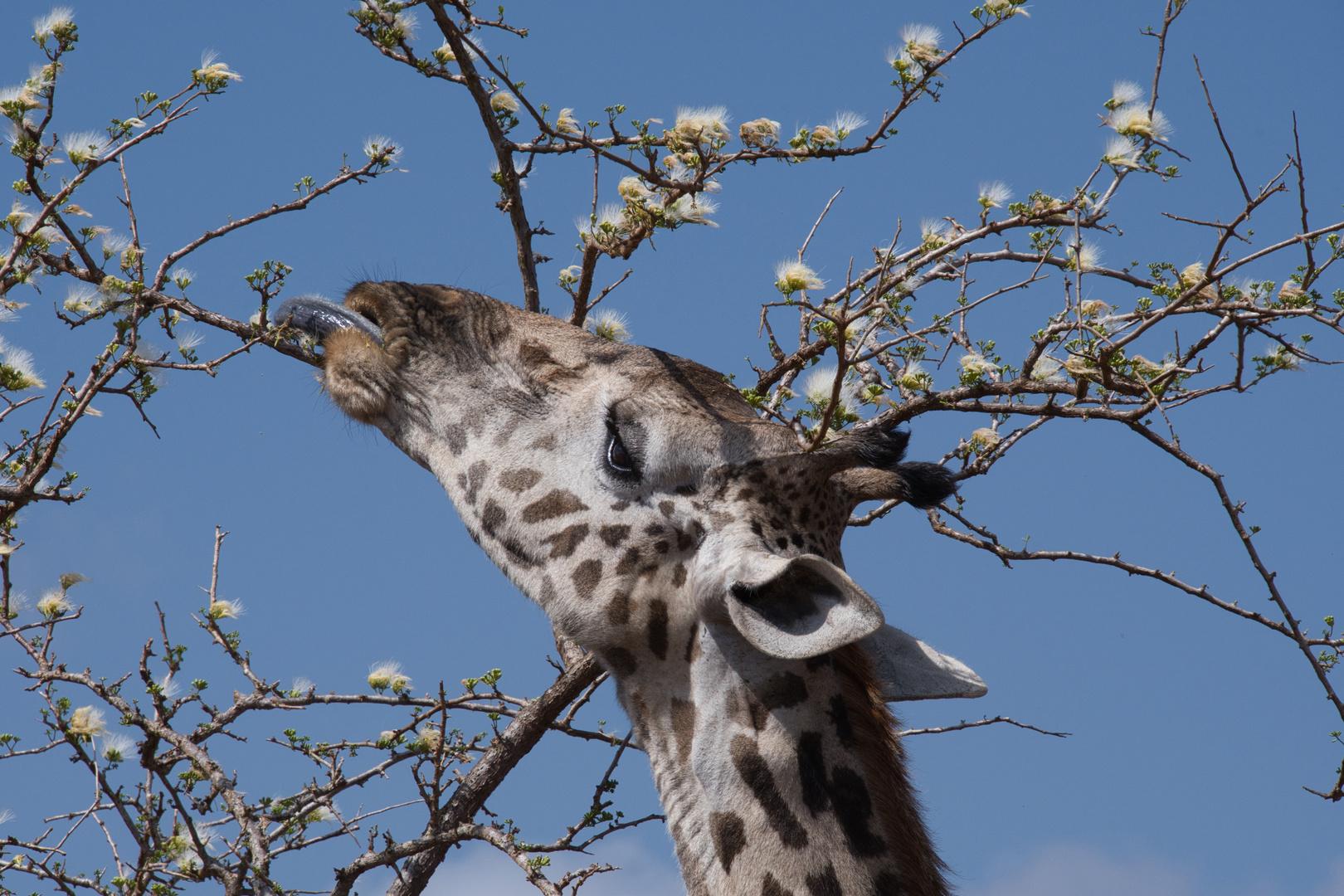 Giraffe_Zunge