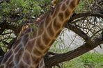 Giraffic Park Revisited