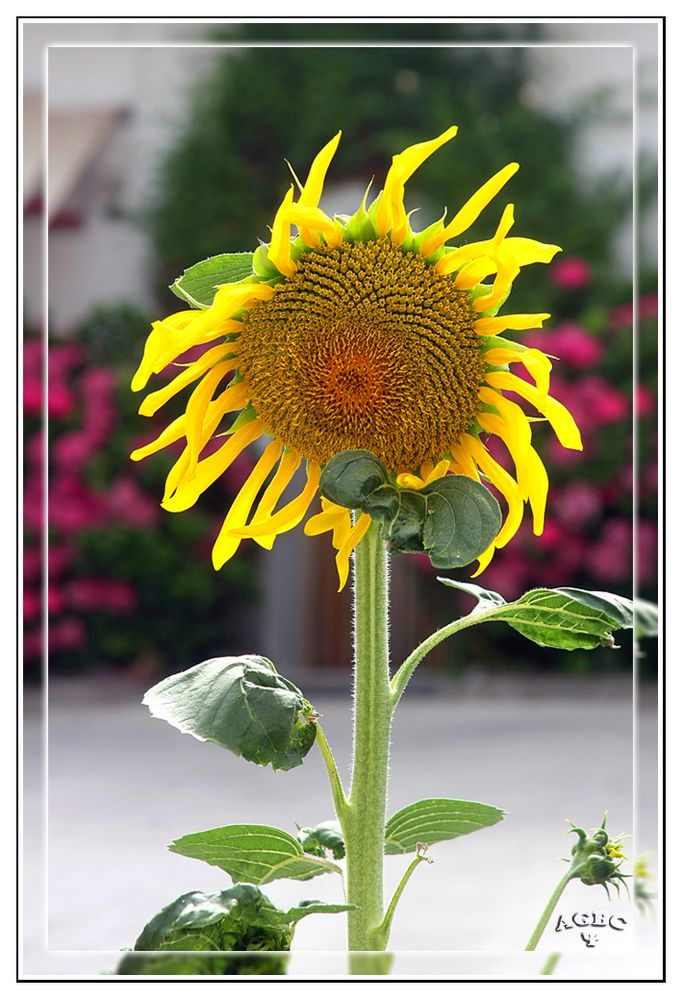 Girasol casero (jardin de Benarum)