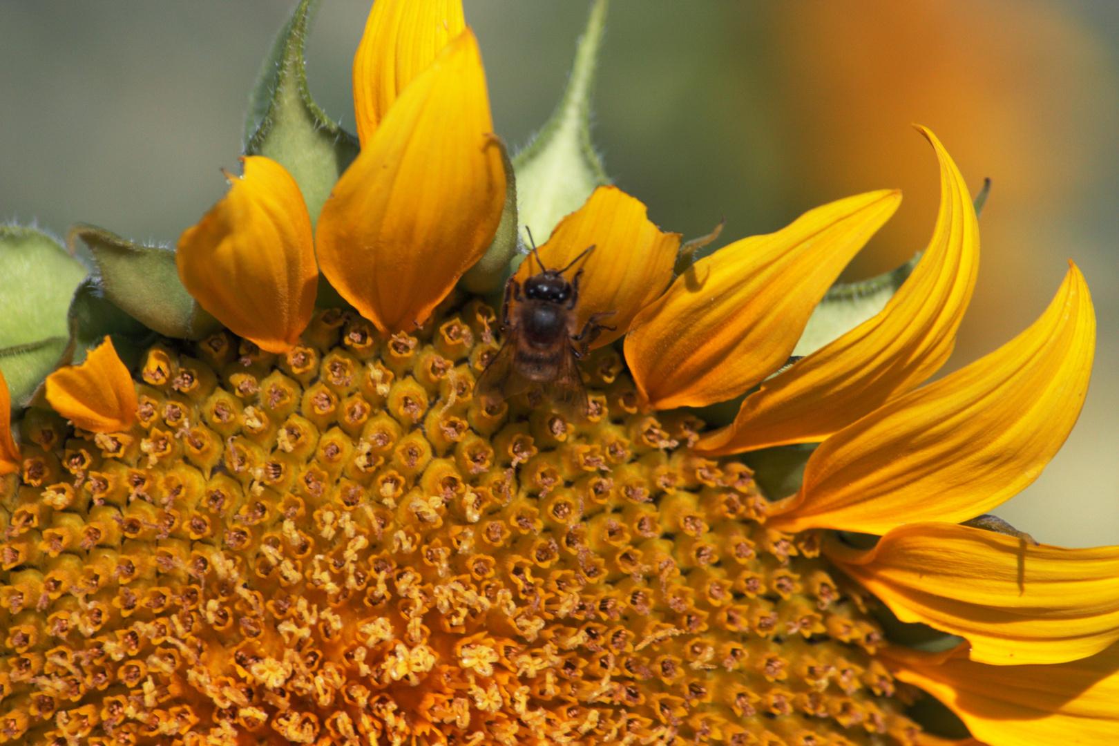 girasol y abeja