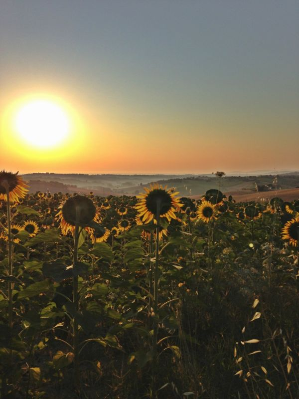 Girasoli mai soli... al sole. Foto % Immagini| paesaggi, albe e ...