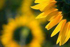 girasoli, sunflowers, sonnenblumen ...