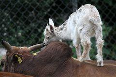 Girgentana Ziege und Zwerg Zebu