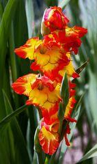 Gladiole (1)