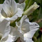 Gladiole (3) mit Biene im Anflug!