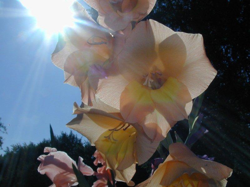 Gladiole im Sommer