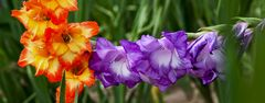 Gladiolen (2)