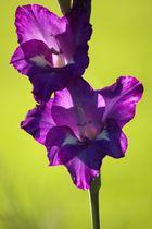 Gladiolenblüte4