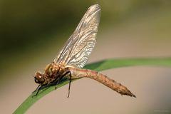 glänzende Falkenlibelle